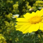 yellow flower img quote