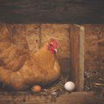 barn-chicken